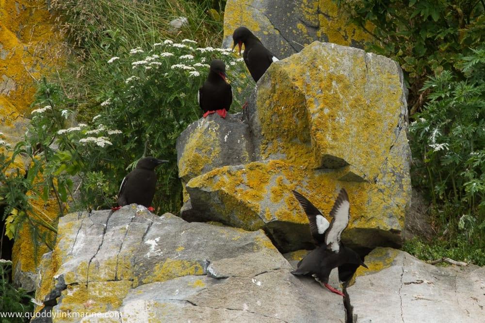 Black guillemots on Whitehorse Island