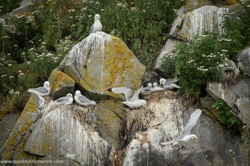Nesting black-legged kittiwakes on Whitehorse Island