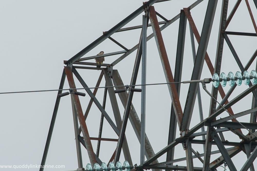 Peregrine falcon on Macs tower