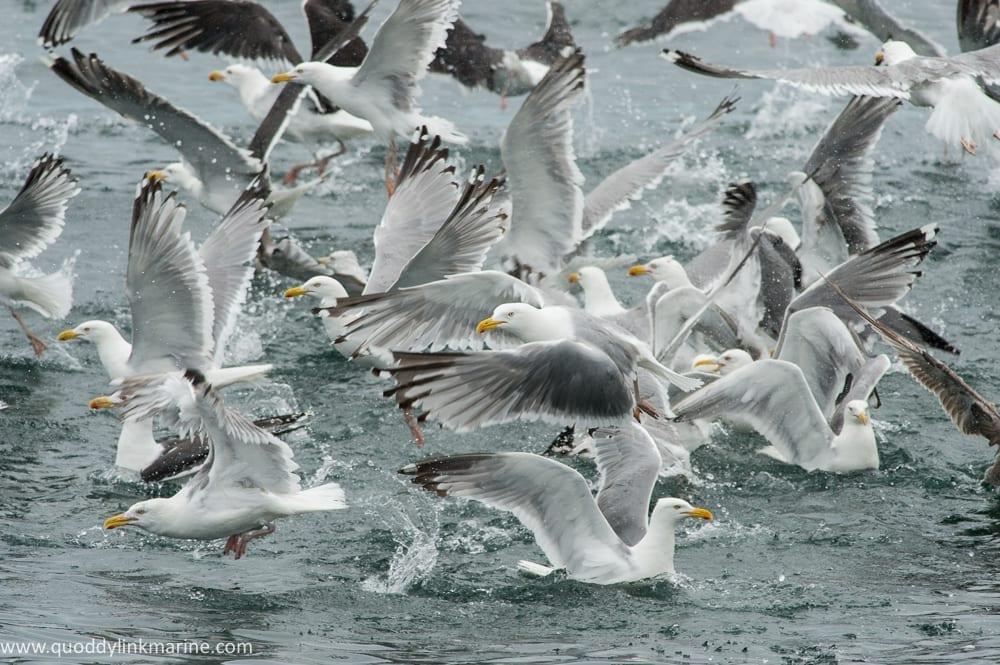 Group of gulls feeding on bait ball of herring