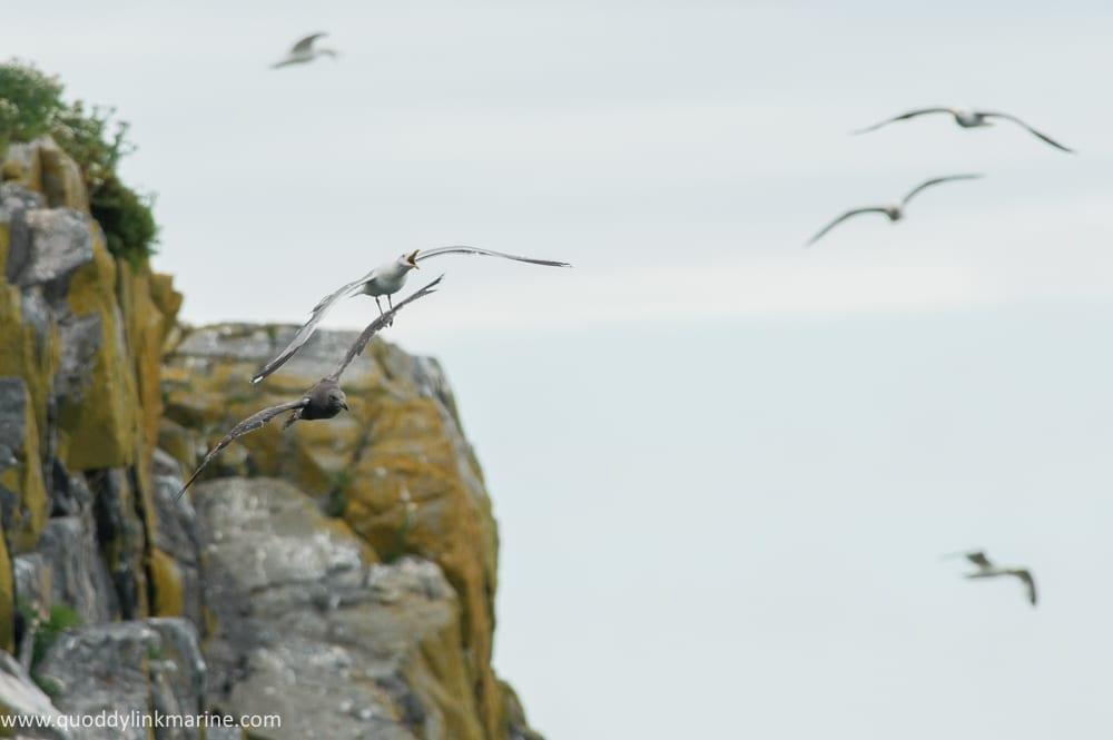 Herring gull fledging