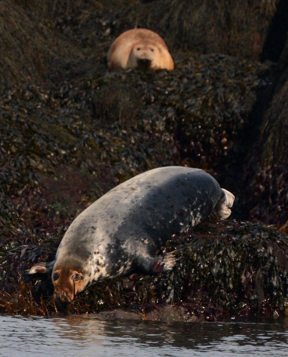 red headed female grey seal