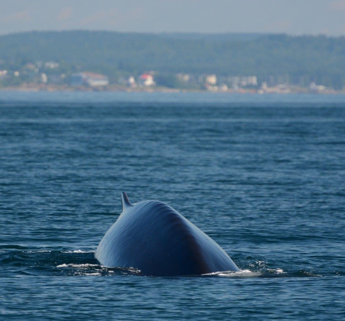 Fin whale on a terminal dive
