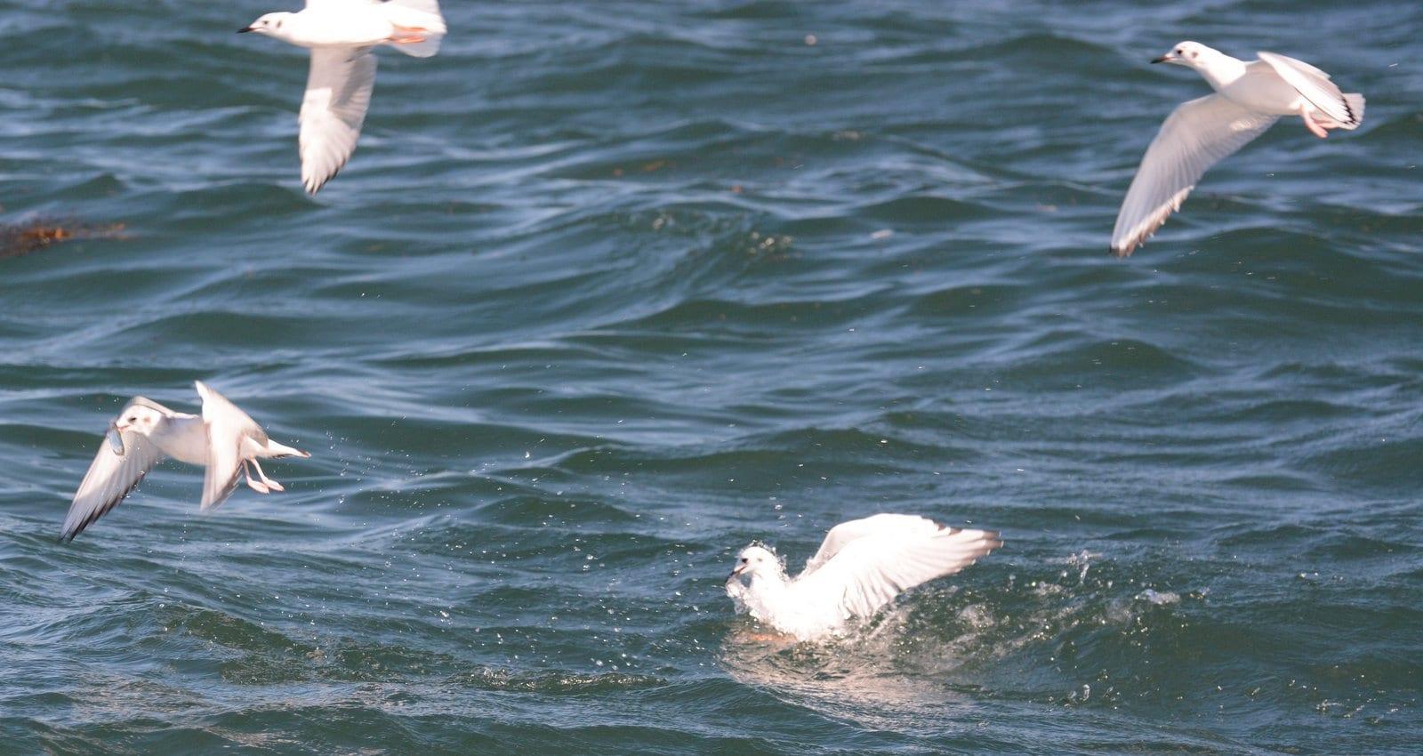Feeding Bonaparte's gulls
