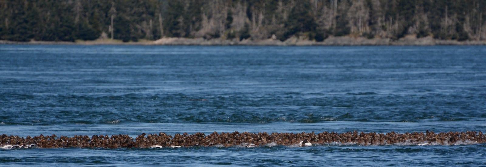 flock of eiders