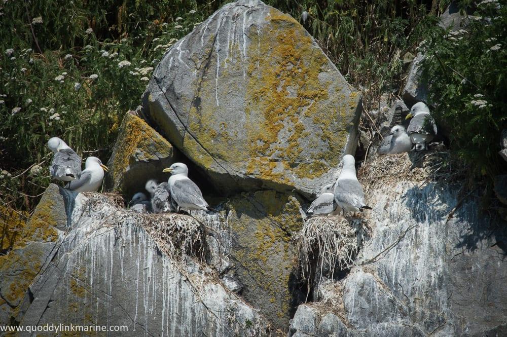 Nesting black-legged kittiwakes with chicks on Whitehorse Island